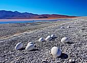 Bolivia, Potosi Departmant, Sur Lipez Province, Eduardo Avaroa Andean Fauna National Reserve, Abandoned Flamingo Eggs on the shore of the Laguna Colorada.