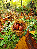 Fallen chestnuts and bur (Castanea sativa) at forest. Viladrau village countryside. Autumn at Montseny Natural Park. Barcelona province, Catalonia, Spain.