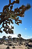 Joshua trees in Joshua Tree Nationalpark, California, USA, America