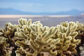 cholla cactus in Joshua Tree Nationalpark, California, USA, America