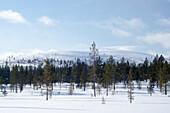 Siberian spruce, Picea obovata, Urho Kekkonen National Park, Lapland, Finland