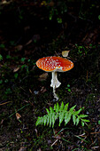 Fly agaric, Amanita muscaria, Monte Riga, canton of Ticino, Switzerland