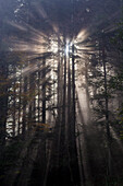 Rays of sunlight radiating through the branches of firs, abies, Rigi Hochflue, Rigi Massif, foothills of Central Switzerland, canton of Schwyz, Switzerland