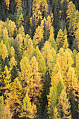 Larches, Ofenpass, canton of Grisons, Switzerland