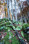 Ferns in a Beech forest, canton of Glarus, Switzerland