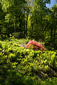Blooming Rhododendron and Birch trees, Ferns, canton of Ticino, Switzerland