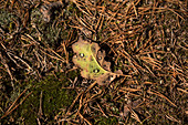 Oak leaf, canton of Uri, Switzerland