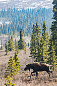 'Bull moose (alces alces) with antlers just beginning to grow, walking across the landscape with forest in the background, Denali National Park and Preserve; Alaska, United States of America'