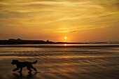 'A dog runs across a wet beach with the golden sun setting in an orange sky along the coast and Bamburgh Castle in the distance; Bamburgh, Northumberland, England'