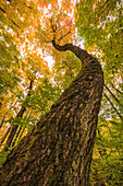 'Looking up the trunk of a gnarled tree toward the sky in the forest of Algonquin Park; Ontario, Canada'