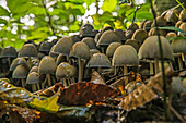 'Mushroom colony on the forest floor; Strathroy, Ontario, Canada'