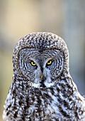 'Great Grey Owl (Strix nebulosa), Alberta foothills; Alberta, Canada'