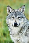 'Immature female wolf (canis lupus), captive at the Alaska Wildlife Conservation Center, South-central Alaska; Portage, Alaska, United States of America'