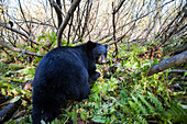 Adult Black bear among understory foliage, Southcentral Alaska, USA