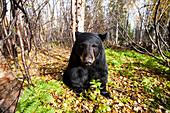 Close up of an adult Black bear among autumn foliage, Southcentral Alaska, USA