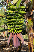banana flower, plant, La Gomera, Canary Islands, Spain