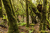 Laurel forest, Laurisilva, green moss, Garajonay National Park, Unesco World Heritage, La Gomera, Canary Islands, Spain
