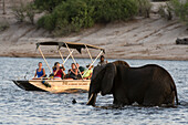 Tourist watching an African elephant (Loxodonta africana), crossing the river Chobe, Chobe National Park, Botswana, Africa