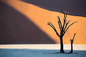 Dead acacia trees in the Deadvlei valley at sunset with red dunes in the background hit by the sunlight, Sossusvlei, Namibia