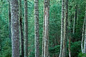 Noble fir forest along Meadowedge Trail, Marys Peak Scenic Botanical Area, Siuslaw National Forest, Oregon.
