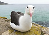 Black-browed Albatross ( Thalassarche melanophris ) or Mollymawk. South America, Falkland Islands, January.