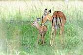 Impala (Aepyceros melampus) mother and new born infant, the mother is still cleaning the baby,Maasai Mara Nationa Reserve, Kenya.