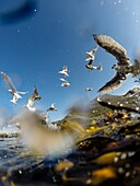 Seagulls fighting for the remainings after gutting fish.