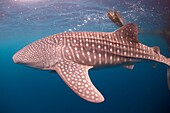 Whale Shark (Rhincodon typus) with Remoras blowing bubbles near fishing raft (Bagan), Cenderawasih (Bird of Paradise) Bay, West Papua, Indonesia.