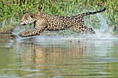 Male Jaguar (Panthera onca) running in water and chasing, Cuiaba river, Pantanal, Mato Grosso, Brazil.