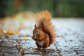 Close-up of squirrel on footpath