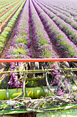 Harvesting first rows of lavender in a field in Provence, Plateau de Valensole, Provence Alpes Cote d'Azur, France