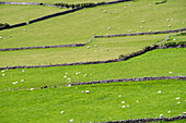 Irish scenery with dry stone walls and sheeps, County Kerry, Munster, Ireland, Europe