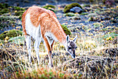 Torres del Paine National Park, Patagonia, Chile, South America, Guanaco
