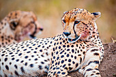 Serengeti National Park, Tanzania, Africa, A couple of cheetahs Acinonyx jubatus  in relax