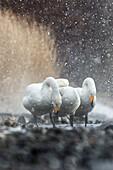 Heavy snowfall on whooper swans in Hokkaido, Lake Kussharo