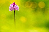 Gaver, Bagolino, Lombardy, Kenya An orchid spontaneous recovery Traunsteinera globular to flat gaver