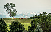 Grazing cows, overlooking the Alpine  panorama with Jochberg and the Karwendel Mountains, Berg, Upper Bavaria, Germany