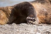 Midsection of Kamchatka brown bear resting on lakeshore, Kurile Lake, Kamchatka Peninsula, Russia