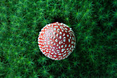 Directly above shot of fly agaric mushroom growing on field