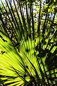 Farnblätter im Gegenlicht in einem Park, Fort Myers Beach, Florida, USA