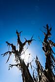 Silhouette von einem alten ungewöhnlichen bewachsenen Baum im Gegenlicht in einem Nationalpark, Fort Myers, Florida, USA