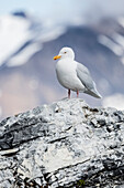 European herring gull (Larus argentatus) Island Gnalodden, Spitzbergen, Svalbard