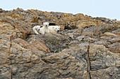 Polar bear mother with two  cubs Gasbergkilen, Spitzbergen, Svalbard
