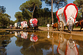 caravan of ox carts and water reflection, El Rocio, pilgrimage, Pentecost festivity, Huelva province, Sevilla province, Andalucia, Spain, Europe