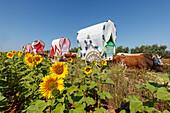 sunflower field caravan of ox carts, El Rocio, pilgrimage, Pentecost festivity, Huelva province, Sevilla province, Andalucia, Spain, Europe