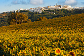 Vejer de la Frontera across a sunflower field, Pueblo Blanco, white village, Cadiz province, Andalucia, Spain, Europe