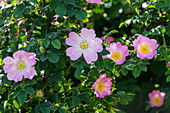 rose flowers, Rosa canina, Germany