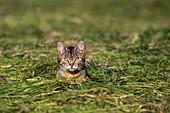 domestic cat in fresh cut grass, Bavaria, Germany, Europe