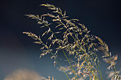 tender grasses with dew backlit, Germany, Europe
