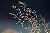 Zarte Gräser mit Tau im Gegenlicht, Deutschland